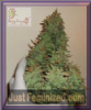 Dr Krippling Auto Smokin' Gun Feminized 10 Seeds